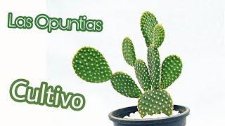 El Cultivo De Las Opuntias