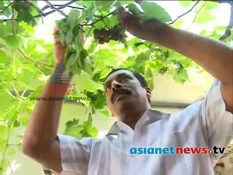 Rajan Samuel 's grapes farming success storyകൊതിയൂറുംമുന്തിരികള്