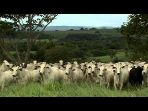 Extensive Benefits: how animal welfare is increasing Brazil's beef cattle productivity