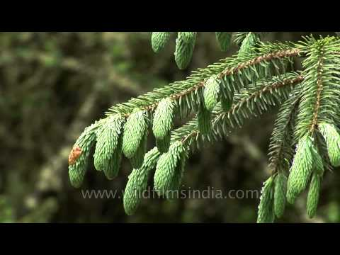 Fir, spruce and other conifers of Bhutan