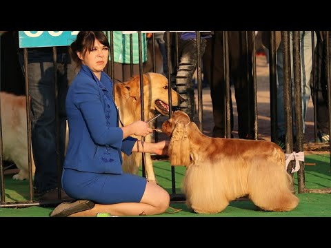 Dog Show In India || Cocker Spaniel || Beagel || Chow Chow || Scoobers