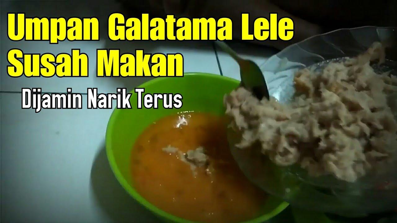 Umpan Lele Babon Susah Makan Daging Ayam Dijamin Strike Babon Youtube