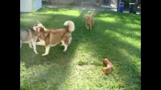 Dachshund Puppy, Gold Retriever & Siberian Huskies playing together!