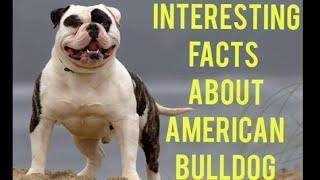 American bulldog Interesting Facts  in Hindi !! dogs fact !!  #bulldog  #dog #america #indiadoglover