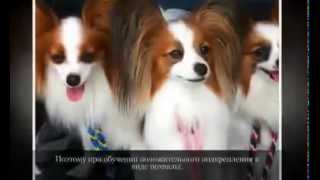 Маленькие породы собак ПАПИЛЬОН ПАПИЙОН
