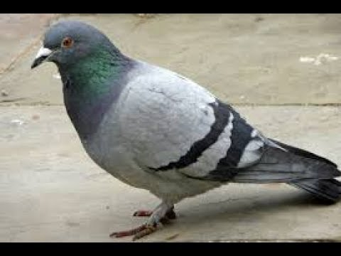 Pigeon Saluting The Powerful Putin Youtube