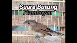 HD Audio Suara Burung Flamboyan