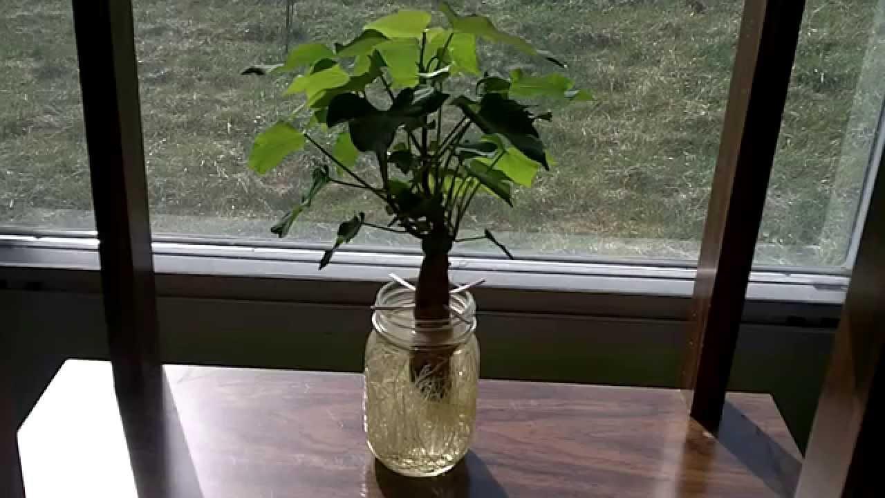 Growing sweet potatoes in a mason jar youtube reviewsmspy