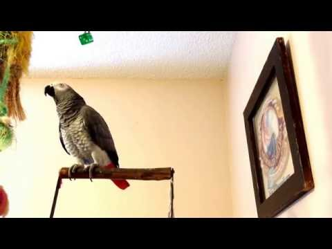 Hilarious talking parrot compilation: Kanji The Parrot sounds like a squeaky toy