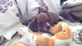 Dachshund Puppy Death Shakes A Toy