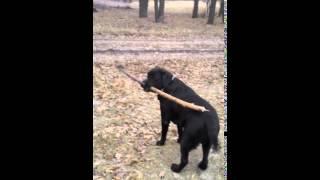Умная, воспитанная собака выглядит так))