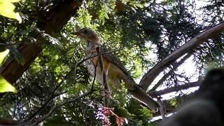 クロツグミの幼鳥
