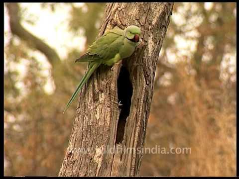 Rose-ringed Parakeet - a gregarious tropical Afro-Asian parakeet species
