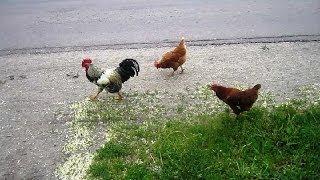 Сельская Жизнь  Петух и Курочки (Cock. Couple. Pet World)