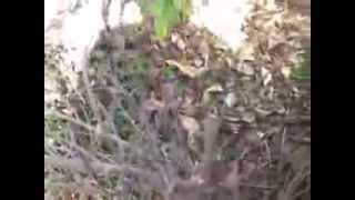 Pruning Frost Damaged foliage small shrubs