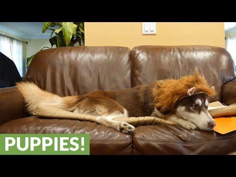 Husky Tries On Lion Halloween Costume, Looks Majestic