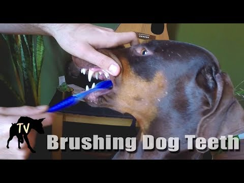 How We Brush Our Dogs Teeth | Raw Fed Dog