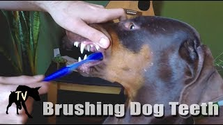 How We Brush Our Dogs Teeth | Raw Fed Dog thumbnail