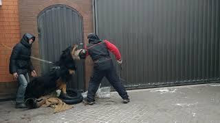 Бурят-монгольская собака. Охрана территории, 2 занятие.