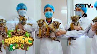 [正大综艺·动物来啦]通过人工繁育和野外保护 以下哪种动物保护等级从濒危降到易危| CCTV