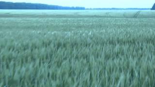 2 06 Agroprofi на пшенице