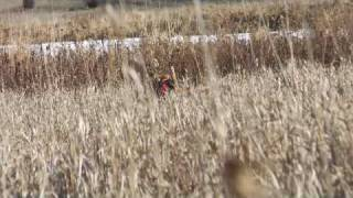 The Airedale Terrier Upland Hunting Style