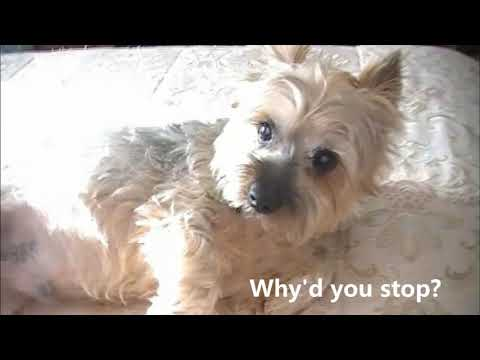 A Day in the Life of Cosmo the Silky Terrier