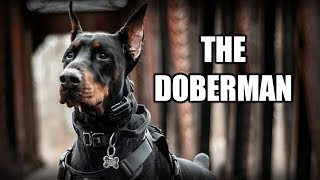 THE DOBERMAN PINSCHER  A QUICK LOOK AT THE HISTORY AND BREED STANDARD