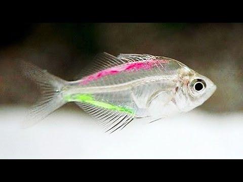 A Transparent Fish - Painted Glass Tetra