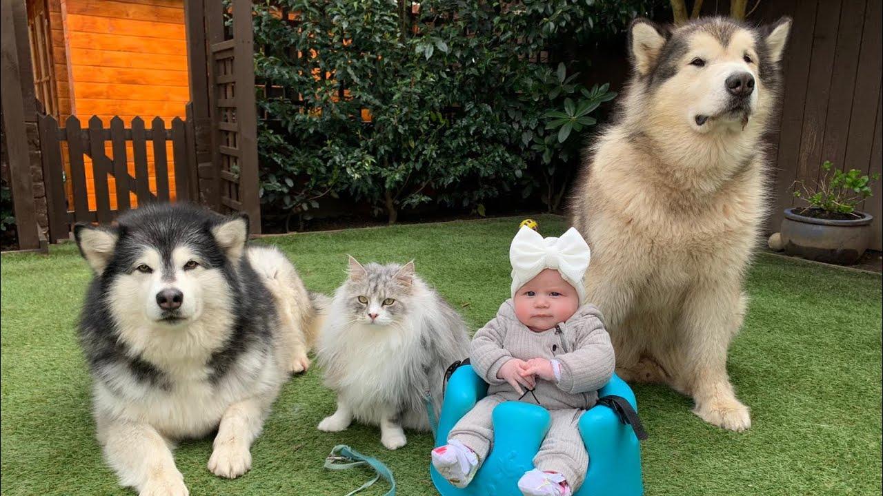 Alaskan Malamutes Howl For Baby Amelia Youtube Dogs protect baby bump | alaskan malamute. alaskan malamutes howl for baby amelia