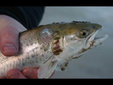 Eaten Alive: End of an Era - Salmon & Trout Conservation