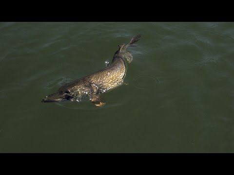 Ganglers North Seal River Lodge | Manitoba Pike Fly Fishing