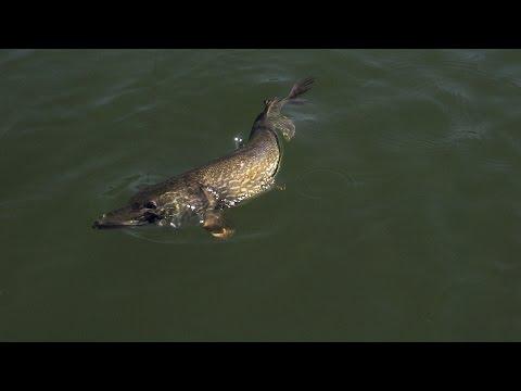Ganglers North Seal River Lodge | Manitoba Pike Fly Fishing