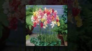 видео Иксия с саду