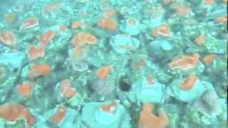 Our corals transplant for USA market