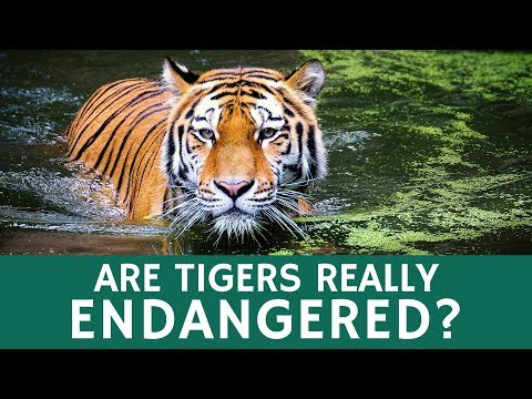 How Many Tigers Are Left In The Wild? Population And Conservation Mystery