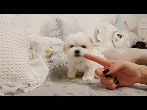 Puppy play video Mini bichon frise - Teacup puppies KimsKennelUS