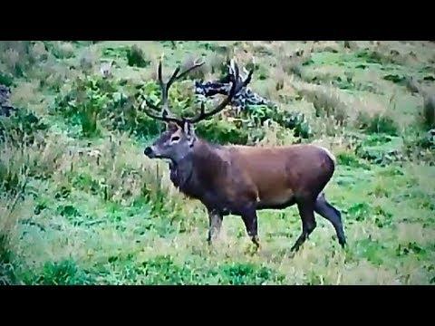 #waikarimoana Hunting Fallow Deer With 22-250 Rem Rifle In New Zealand # 221