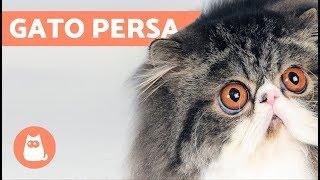 TIPOS DE GATOS PERSA  Razas de Gatos