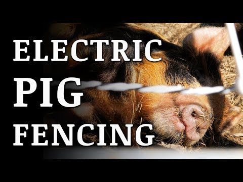 Training PIGS To An ELECTRIC FENCE