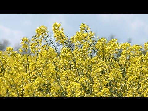 На Ставрополье расцвели рапсовые поля