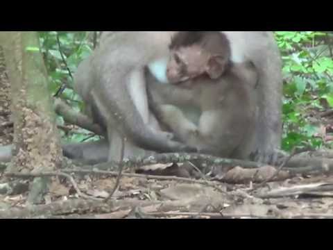 Funny Monkey  Angkor Wat temples in Cambodia