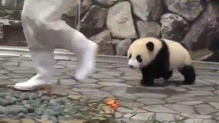 Нападение панды на человека!