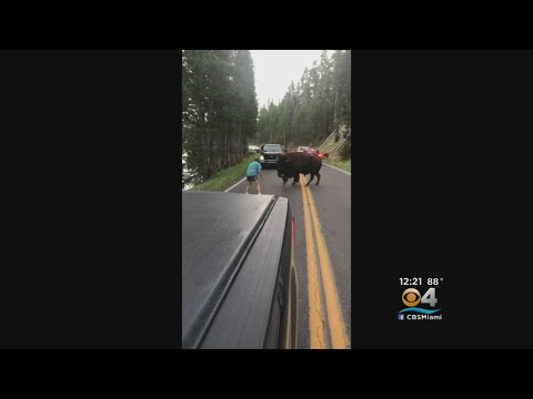 It's Man Vs. Bison At Yellowstone National Park