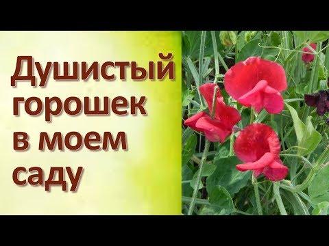 Цветок Душистый горошек Как я выращиваю
