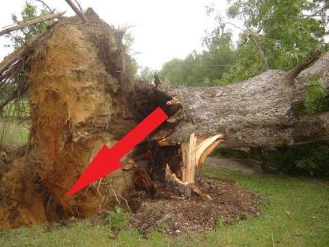 Многовековое дерево упало