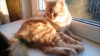 Поведение и самочувствие котиков после кастрации. Домашние кошки.