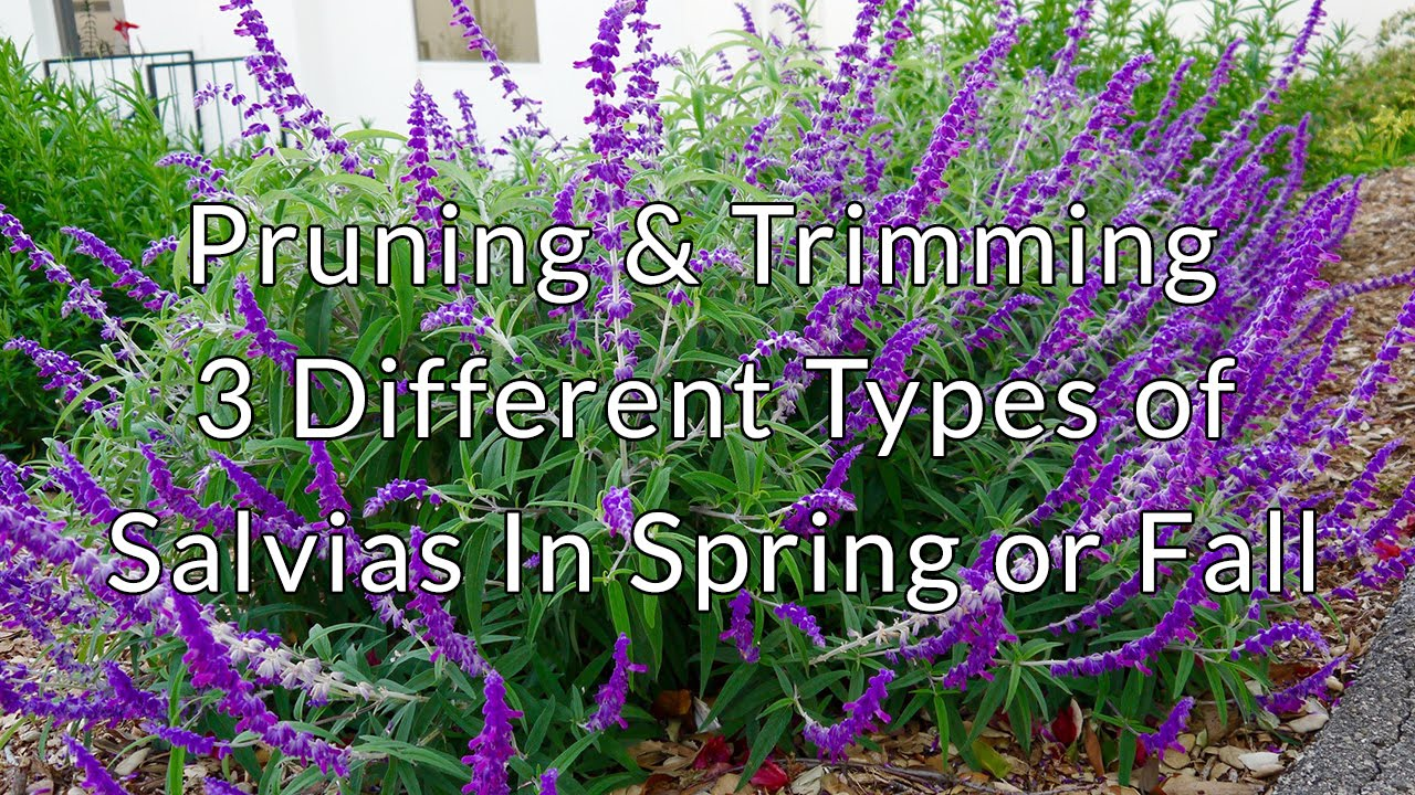 Pruning Amp Trimming 3 Different Types Of Salvias In Spring