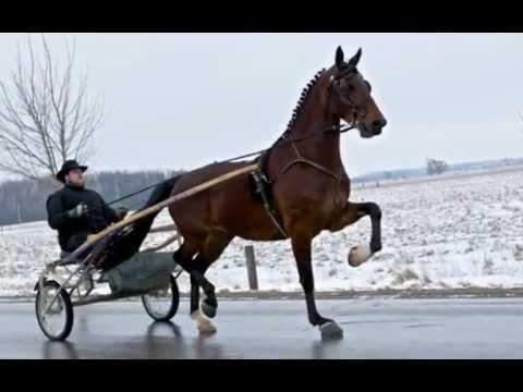 tuigpaard dutch harness horse