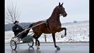 Sold Cealarda W Dutch Harness Horse Mare